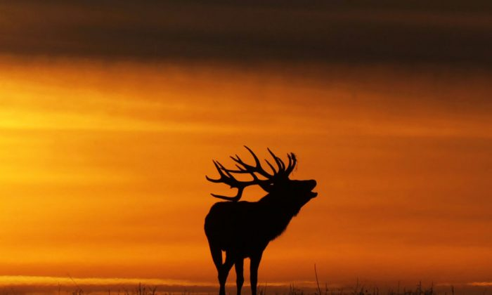 A deer silhouetted at sunset bellows near the village of Gorodilovichi, some 300 kilometers north of Minsk, on Oct. 22, 2017. (Sergei Gapon/AFP/Getty Images)