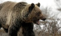 Grizzly Bear Attacks, Kills Mother and Baby Daughter; Experts Say It's Rare