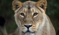 Zoo Kills Healthy Lion Cubs Because They Became 'Surplus' Animals