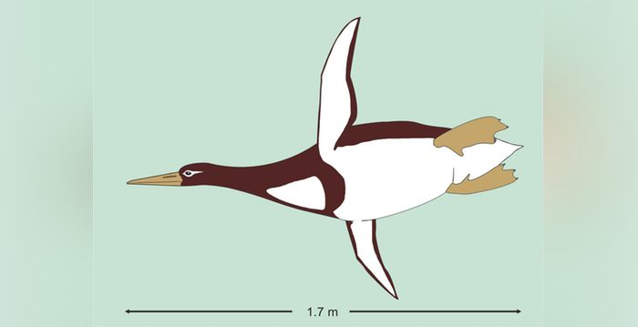 Giant Penguin? Fossils Show They Were as Tall as Humans