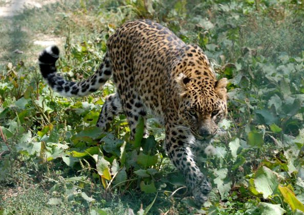 A leopard (not the one pictured) attacked a 60-year-old man in an Indian village. (Rouf Bhat/AFP/Getty Images)