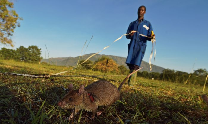 An African giant pouched rat sniffs for traces of landmine explosives at APOPO's training facility in Morogoro on June 17, 2016.  APOPO trains the rats to detect both tuberculosis and landmines at its facility. (CARL DE SOUZA/AFP/Getty Images)