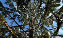 Romans Decry 'Grungy,' a Threadbare Christmas Tree, as Sign of Decline