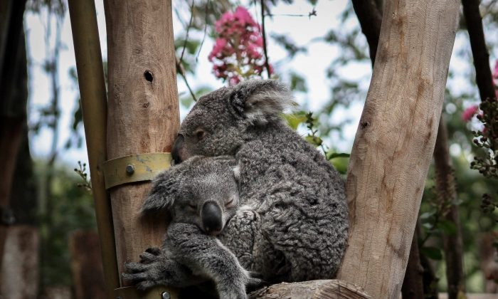 It turns out koalas sometimes aren't as cuddly as this. (Mélody P/ Unsplash)