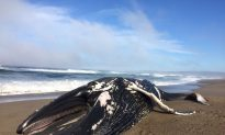 30-foot Humpback Whale Washes Up on California Beach