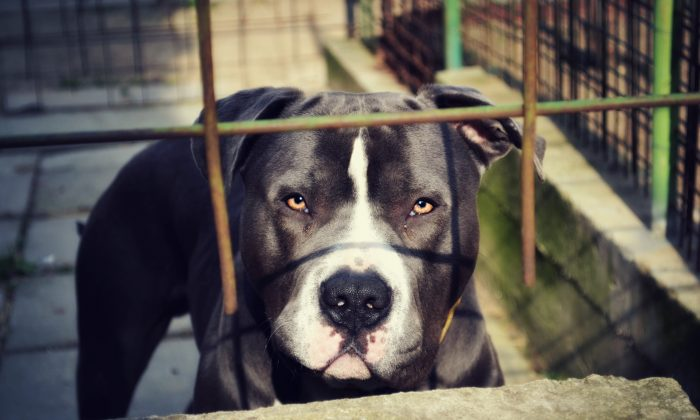 A stock photo shows a pit bull. (Stock photo of pit bull / CC0)