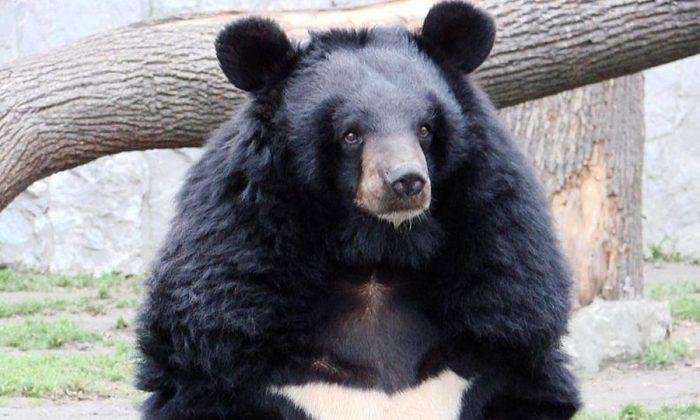 An Asiatic black bear (Guérin Nicolas via  GNU Free Documentation License)
