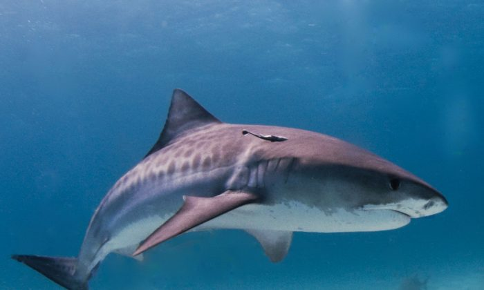 Tiger Shark With Stomach and Teeth Removed Found on South Carolina Beach