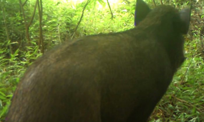 A screenshot from video that recorded the Javan warty pig in the wild for the first time. (Screenshot via Act for Wildlife/YouTube)