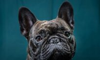 Vets: Think Twice Before Buying 'Squashed-Faced' Dog Breeds