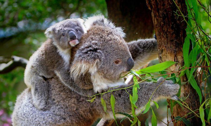 Mother koala and her joey. (Pexels)