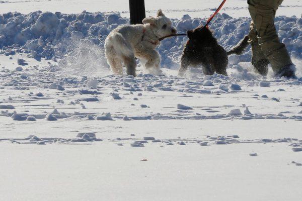 Dogs play in the snow on Boston Common following winter snow storm Grayson in Boston Massachusetts U.S. Jan. 5 2018