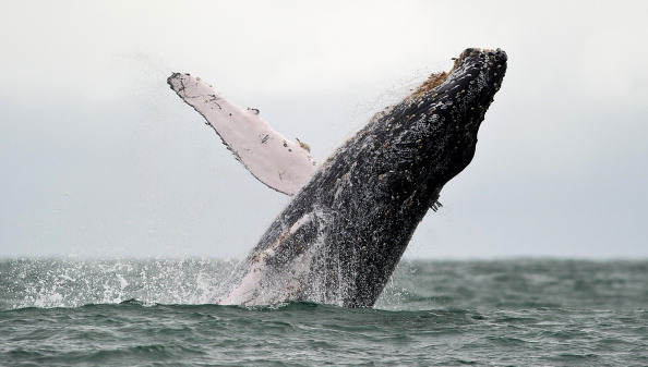 A Humpback whale jumps in the surface of the Pacific Ocean at the Uramba Bahia Malaga natural park in Colombia, on July 16, 2013. (Luis Robayo/AFP/Getty Images)