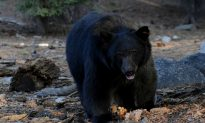 Officials Kill Young Black Bear That Became Local Selfie Celebrity