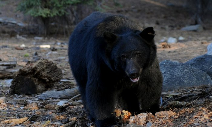 A black bear scavenges for food beside tourists near the famous General Sherman tree at Sequoia National Park in Central California on Oct. 10, 2009.  (Mark Ralston/AFP/Getty Images)