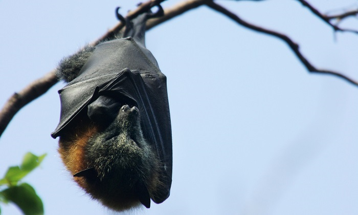 A file image of a flying fox – commonly known as a giant fruit bat – as it hangs from its roost in Sydney, Australia. (Ian Waldie/Getty Images)