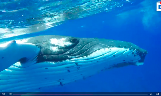 Biologist says she has never seen a whale behave this way before—she's lucky to be alive