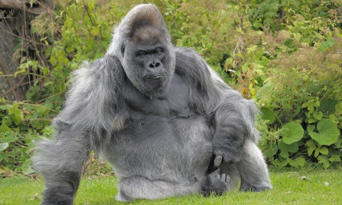 Nico, one of the oldest silverback gorillas in the world, has passed away aged 56 at Longleat Safari Park in the UK, on Jan. 7. (www.longleat.co.uk)