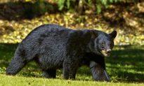 Bear Mauls Florida Man Outside His Home, Near School