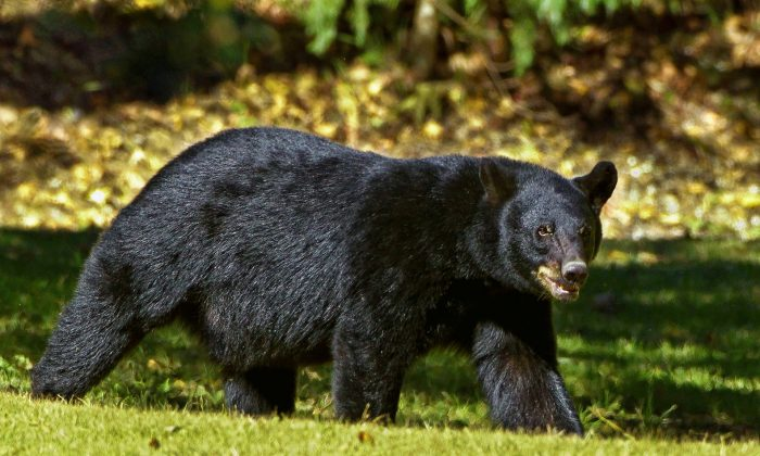 A black bear similar to the one that attacked a man in South Florida on Jan. 9. (Pixabay/CCO)