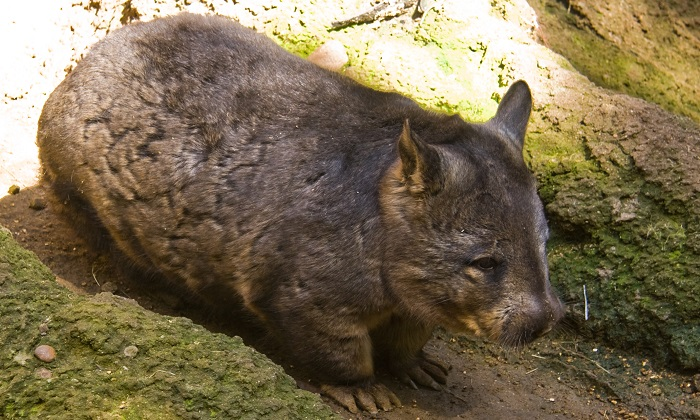 A woman came across a young wombat strolling up the pathway of a street in suburban Canberra. (Wikimedia Commons)