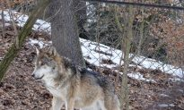 First Wolf Spotted in Belgium in Over a Century