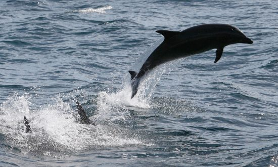 Dolphin Chokes to Death From Octopus, in First Ever Recorded Discovery