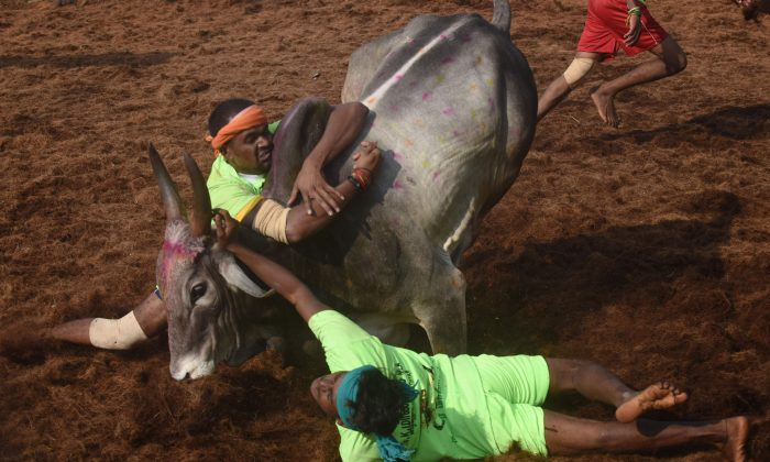 Indian participants try to control a bull during the annual 'Jallikattu' bulltaming festival in the village of Palamedu on the outskirts of Madurai, India, on Jan. 15, 2018. (Arun Sankar/AFP/Getty Images)