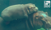 Adorable, Happy Reunion for Hippo Family at Cincinnati Zoo