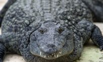 Police Find Crocodile in Russian Basement During Weapons Raid