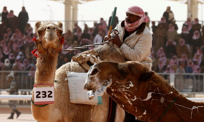 Botox scandal clouds camel beauty contest