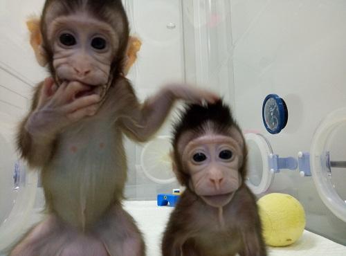 Zhongzhong and Huahua (China Institute of Neuroscience)