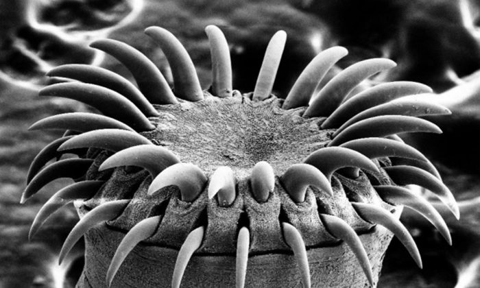"""An electron microscope image of a tapeworm's head. (""""Tapeworm SEM"""" by Mogana Das Murtey and Patchamuthu Ramasamy [CC BY-SA 3.0 (ept.ms/2Bw5evC)])"""