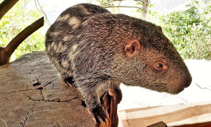 Pacarana. (Benjamin Frable/wikimedia commons)