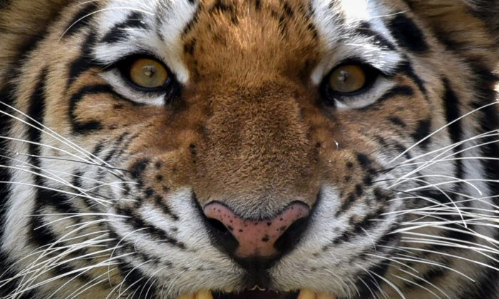 Tori, a 2-year-old male Siberian tiger, growls in its enclosure at a zoo in Tbilisi on Nov. 27, 2017. (Vano Shlamov/AFP/Getty Images)