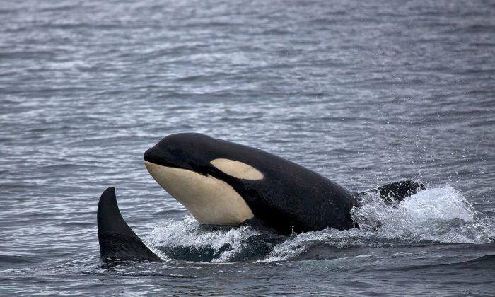 A killer whale. (Skeeze/Pixabay)