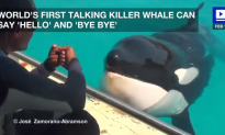 World's First Talking Killer Whale Can Say 'Hello'