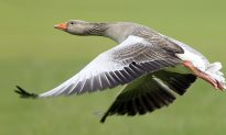 Dead Goose Fights Back—Hunter Knocked Out by Plummeting Prey