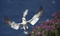 Nigel the Gannet Dies Alone After Falling in Love With a Fake Gannet