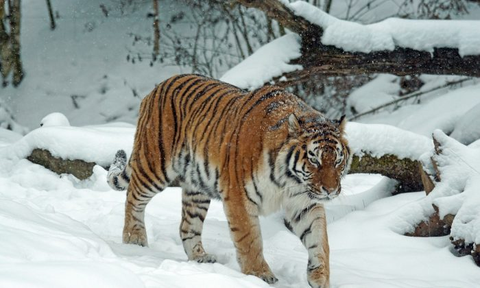 A Siberian tiger is pictured in the snow in this file photo (Pixel-mixer/Pixabay)