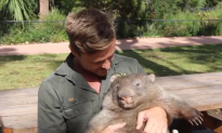 Winner of Australia's Most Adorable Animal, George the Wombat, to Be Released
