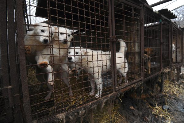 Figure skater saving pups from SKorean dog meat trade