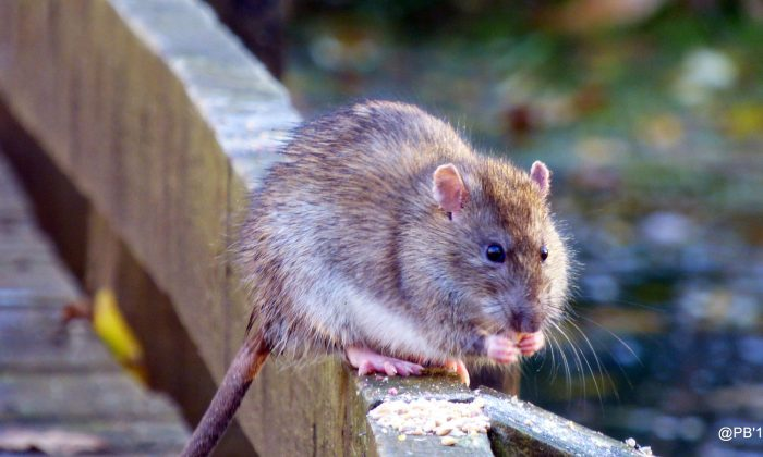 A brown rat. (Pete Beard/Flickr CC BY 2.0)