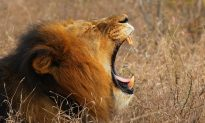 Big Cat Poacher Is Killed and Eaten by the Pride of Lions He Was Hunting in South Africa