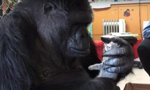 Gorilla grabs a tiny kitten in it's huge hand. But the reason why—it's not what you think