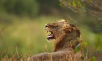 Big Cat Poacher Who Was Eaten by the Lions He Was Hunting Is Identified