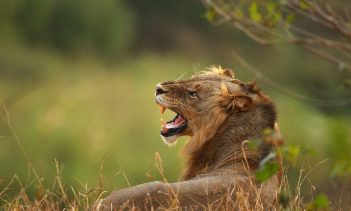 Suspected Poacher Mauled By Lions Identified