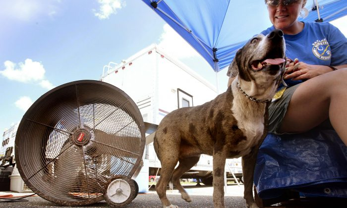 A Catahoula hound in a file photo. (Mario Tama/Getty Images)