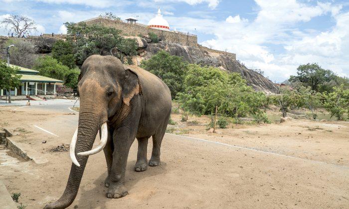 An elephant wanders through the Sithulpawwa Buddhist monastery adjoiing Yala National park. (Mohammad Reza Amirinia)