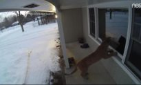 Video Shows Cougar Prowling Outside Wisconsin Home